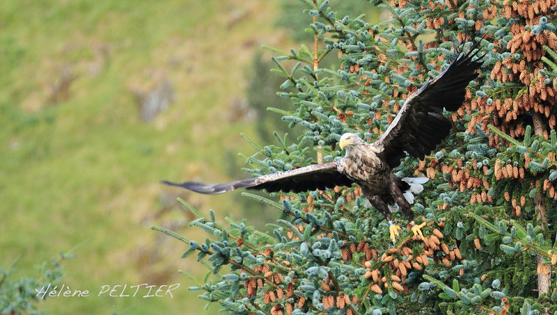 White-tailed eagle. Norway.