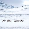 Reindeer, Lapland