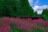 wildflowers Finland