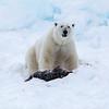 Polar Bear (Ursus maritimus) protecting its kill - a Ringed Seal (Phoca hispida).  Wahlenbergenfjorden. Spitsbergen Island. Svalbard Archipelago. Arctic Norway.