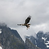 Arctic Eagle (Arctic Circle, Lofoten, Norway)