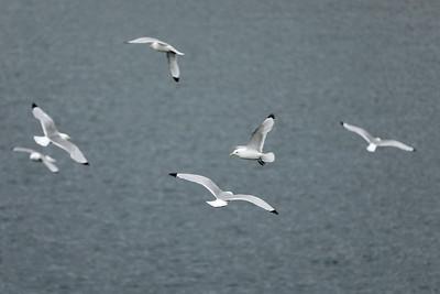 Seagulls, Vardø Havn, Vardø, Troms og Finnmark, Norway