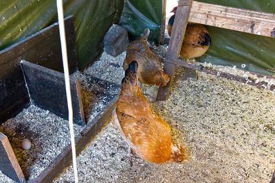 Heute gab es das erste Ei dieses Jahr von unseren Hühnern!