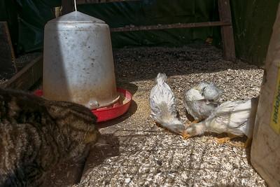 Heute haben wir die Küken testweise ins Hühnerhaus gesetzt.