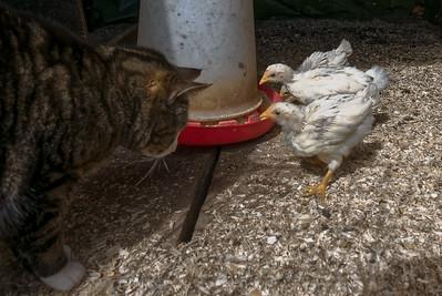 Die Hühner waren meist draussen, aber Mikesch war da. Wir hatten etwas Bedenken, dass er zuschnappt.