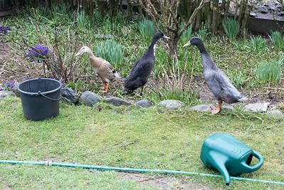 Die Laufenten sind wie am jeden Tag im Garten, um Schnecken zu fressen. Der Erpel hat sich in den letzten zwei Wochen mehr oder wenig liebevoll um seine Laufenten und auch um die alte Ente gekümmert.