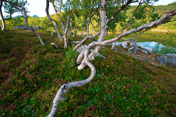 Gnarled birch trees in northern Norway