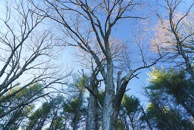 Maple Tree and Sky / Royalton, Vermont