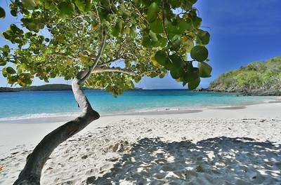Sea Grape Tree  / St. John, US Virgin Islands
