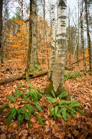Birches and Ferns, Bragg Hill / Norwich, Vermont