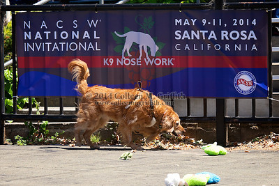"NACSW National Invitational Trial, Santa Rosa California, May 9-11 2014  Only a digital download of all photos in this entire gallery is available for purchase: if only 2 searches are included, price is $35 for the gallery; if 4 searches are included, then price is $75 for the gallery.  TO PURCHASE THIS ENTIRE GALLERY OF PHOTOS, CLICK THE ""BUY"" BUTTON ABOVE THE RIGHT HAND SIDE OF THE PHOTO, AND SELECT ""ALL DIGITAL DOWNLOADS"" FROM THE DROP DOWN MENU.   (NOTE: if you select ""This Photo"" or ""Photos In This Gallery"", it will say no photos are available).     A personal use license is automatically included in the purchase price.  If you'd like to use any photos for commercial purposes (advertising of your business services, selling a product, use in a business blog or business FB page, etc.) then you'd also need to purchase a commercial use license. Please  contact Colleen directly at  csmgriffith@yahoo.com   or   (cell) 303-506-3479 for a commercial use license.  If you'd like prints of your downloaded digital photos, I recommend printing through to www.bayphoto.com since the color of the prints they deliver will be ""true"".  --------Note: the watermark will NOT be included in any purchases-------  ©  2014 Colleen M. Griffith. All Rights Reserved.  This material may not be published, broadcast, modified, or redistributed in any way without obtaining a personal use or commercial use license (which are included when you make a purchase).  This image is registered with the US Copyright Office."