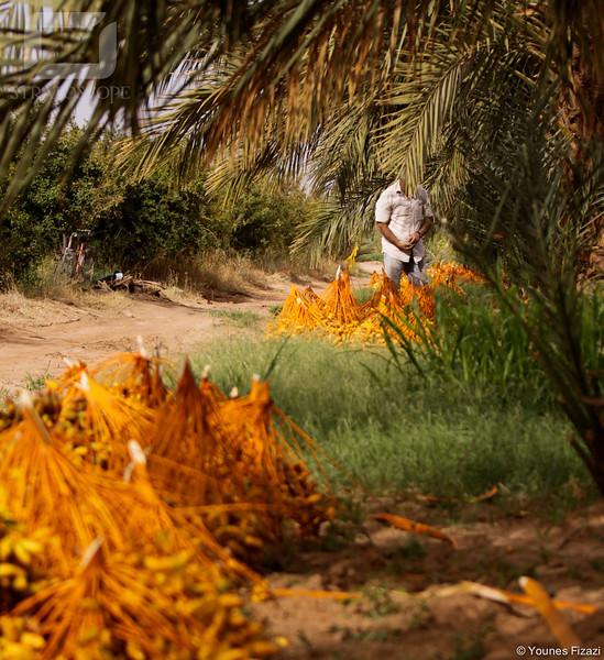 Septembre, saison de la récolte des dates