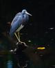 Tricolored Heron<br /> Corkscrew Swamp Sanctuary