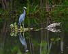 Little Blue Heron<br /> Big Cypress National Preserve