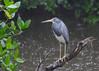 Tricolored Heron<br /> Ding Darling Wildlife Refuge<br /> Sanibel Island, Florida