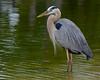 Great Blue Heron<br /> Cinnamon Cove