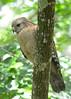 Hawk<br /> Corkscrew Swamp Sanctuary