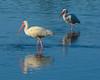 Ibises<br /> Ding Darling National Wildlife Refuge<br /> Sanibel Island, Florida