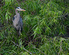Great Blue Heron<br /> Shark Valley<br /> Everglades