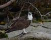 Osprey<br /> Bodwitch Park<br /> Ft. Myers Beach, Florida