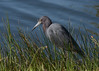 Little Blue Heron<br /> Lakes Park<br /> Ft. Myers, Florida