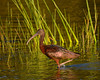 Glossy Ibis<br /> Lakes Park<br /> Ft. Myers, Florida