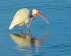White Ibis<br /> Cinnamon Cove