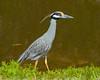 Yellow Crowned Night Heron<br /> Ding Darling National Wildlife Refuge<br /> Sanibel Island, Florida