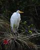 Great Egret<br /> Sweetwater Strand<br /> Big Cypress National Preserve