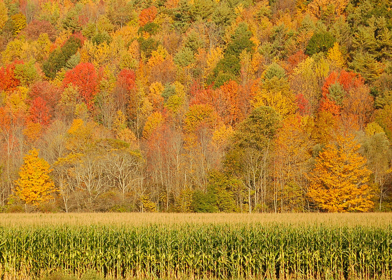 My favorite cornfield. This was just south of Ithaca.