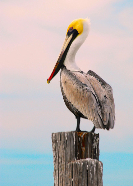 Florida Gulf Coast Pelican<br /> <br />    On day 60 of the BP Deepwater Horizon Oil Spill I wanted to post a photograph of the special wildlife that is or could be affected by the spill. The Gulf Coast is a very special and beautiful environment that supports so much wlidlife and so many people living in the region.<br />    As this ecological disaster continues over the coming months and years I think we need to send a message to the corporate world that they will be held responsible for their actions. How do you think we can do that?