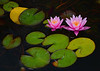 091911<br /> Water Lilies
