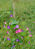 092111<br /> End of the Garden Season<br /> <br /> The tomatoes have withered and the morning glories have taken over.