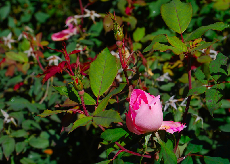 111010<br /> End of Season Rose