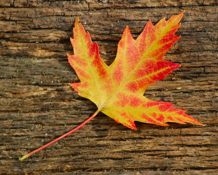 102610<br /> Maple Leaf