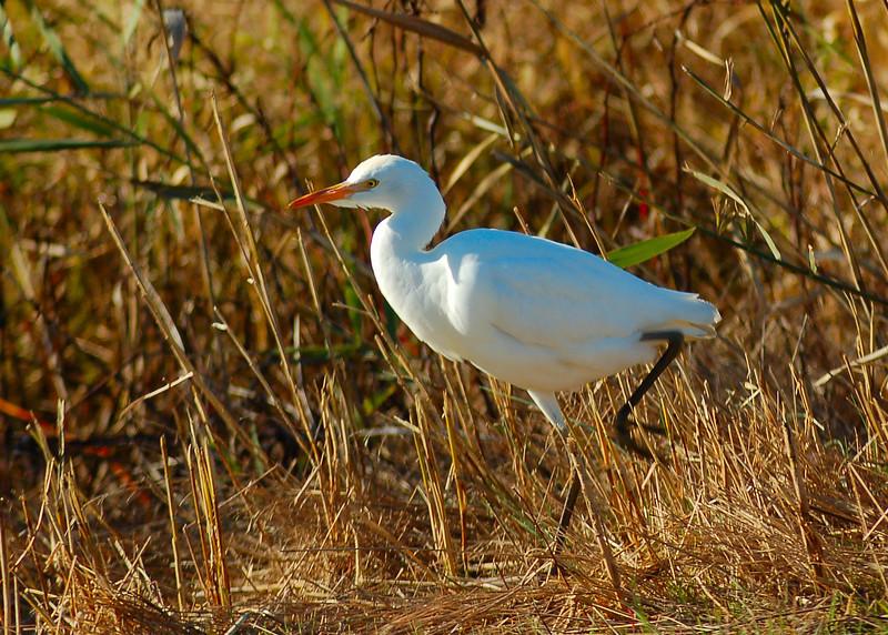 111210<br /> Cattle Egret<br /> Bombay Hook Wildlife Refuge
