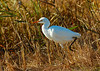 111210<br /> Cattle Egret<br /> Bombay Hook Wildlife Refuge
