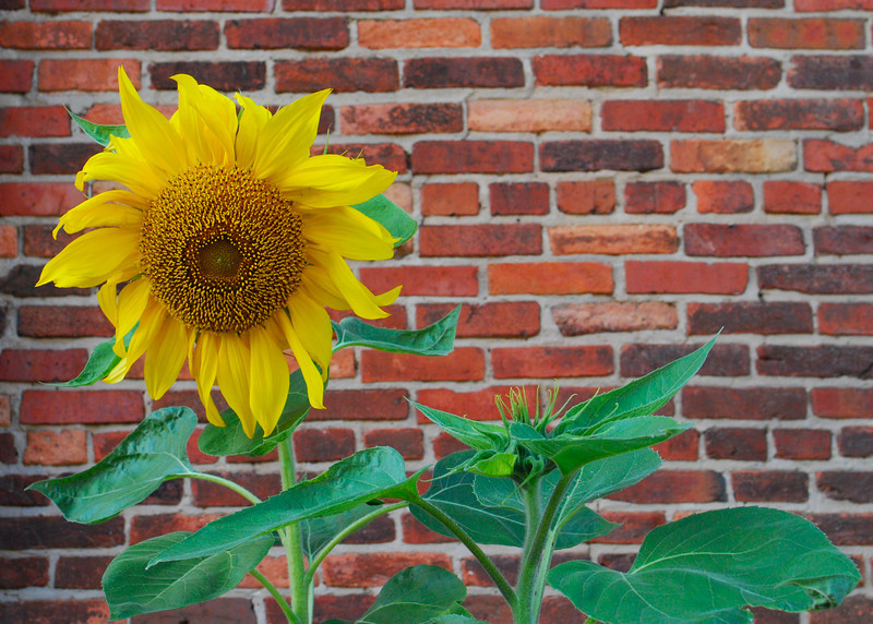 110410<br /> Wallflower<br /> <br /> They planted sunflowers along the side of the American Visionary Art Museum this summer. They were still bloomin this past weekend.
