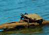 090910<br /> Lums Pond Turtle<br /> <br /> I was a bit disappointed  with how breezy it was at Lums Pond but there were plenty of turtles out in the afternoon. I like how long the nails were on this one. I think this is a Red Bellied Turtle.