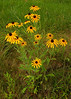 063010<br /> Black Eyed Susans<br /> <br /> Driving home on Sunday I stopped several times to photgraph roadside wildflowers.