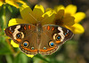 091810 <br /> Butterfly (Common Buckeye?)