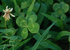 082610<br /> Looking for Luck.<br /> <br /> I hadn't taken any new pictures for a couple days due to work and weather. When the kids were growing up they each played soccer. One of the schools they played at had patches of four leaf clovers. I went back there and found a few.