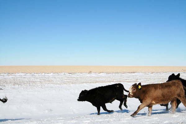 Cow Traffic 2