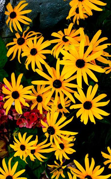 _daisies
