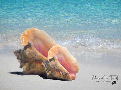 Conch II Bahamas ©Mary Ann Tardif