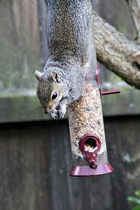 Upsidedown Squirrel