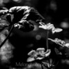 Marsh marigold in black and white