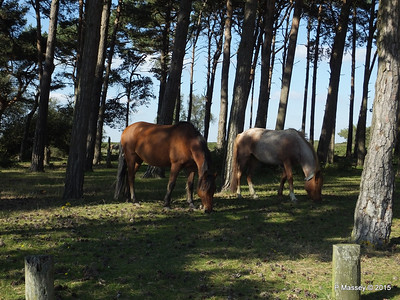 New Forest Ponies Crockford Clump 01-10-2015 14-39-028