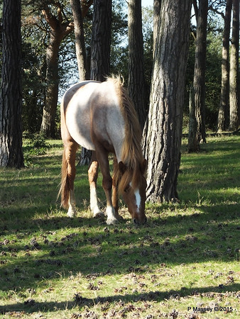 New Forest Ponies Crockford Clump 01-10-2015 14-38-059