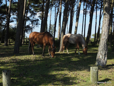 New Forest Ponies Crockford Clump 01-10-2015 14-39-24